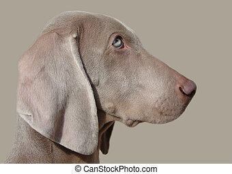 Weimaraner - Close uo head shot of a Weimaraner