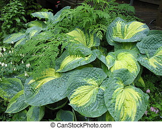 Variagated Hosta - Hosta perennial with ferns in shade...