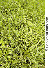 Grass - Bacgrounds of grass, usefull for designe for flyers