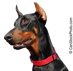 detoured doberman - portrait of doberman