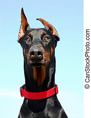 cute doberman - portrait of doberman