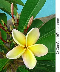 Frangipani - A beautiful new and fresh frangipani flower in...