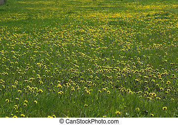 dandelion-field - A yellow and green dandelion-meadow during...