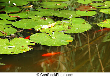 lily pads on a pond - Lily pads floating calmly over a murky...