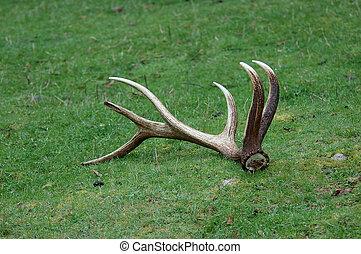 Fallen antlers - Elk antlers on the ground