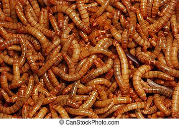 acheta domesticus larvae close up