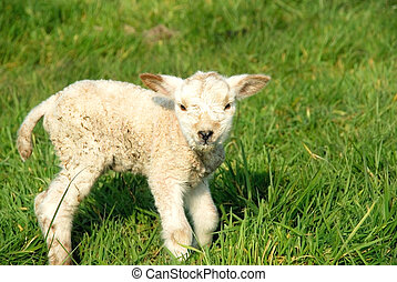 Spring, new born lambs - Signs of spring to come, innocent...