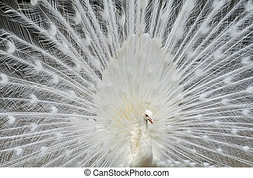 white peacock - closeup of white peacock with tail feathers...