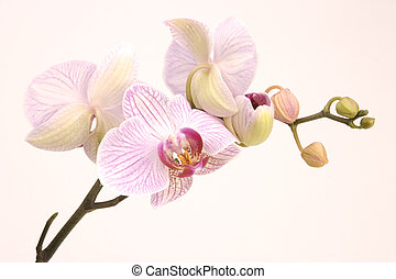 pink orchid - A pink orchid set against a plain background