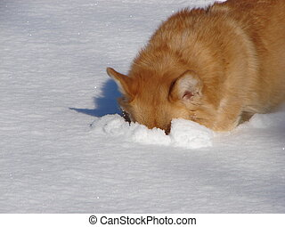 Pembroke Welsh Corgi - pembroke welsh corgi digging in...