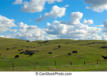 Cattle Graze on the Grassy Knolls of California, USA -...