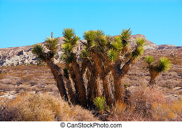 Joshua Tree in Death Valley National Park, California, USA -...