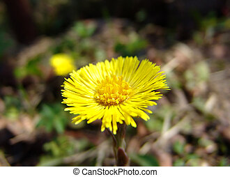 Coltsfoot flower 2 - A coltsfoot flower closeup