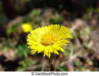 Coltsfoot flower 2 - A coltsfoot flower closeup