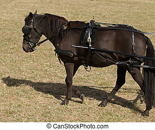 Carriage Pony - A black pony in Carriage Harness