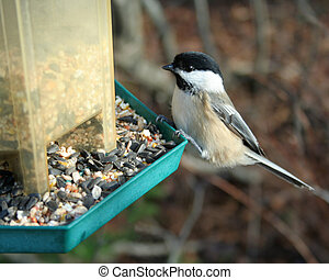 Chickadee at Feeder - A black-capped chickadee eating from a...