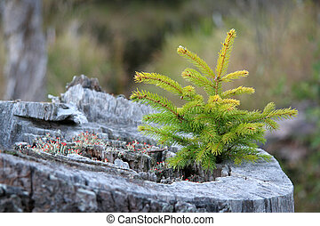 Life Cycle - Seedling growing in an old stump