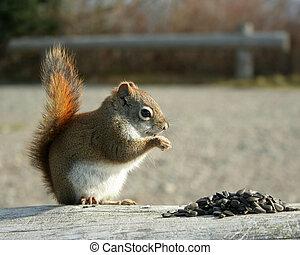 vermelho, esquilo, perfil