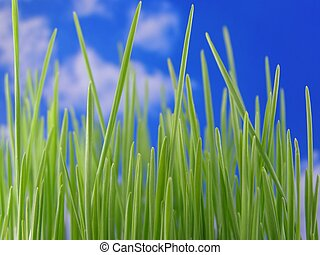 green grass - Perspective shot of green grass straws against...