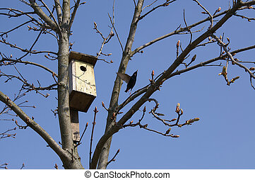 Spring in the yard- starling by his nesting-box