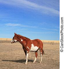Poor Pinto Pony - A poor pinto pony stands in her barren,...