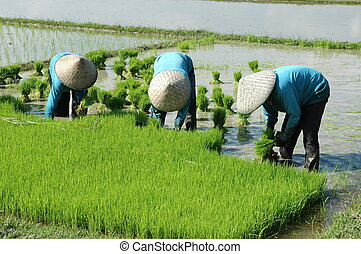 Rice farmers at work - Rice farmers working on a paddy in...