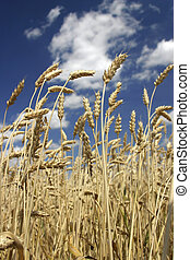 Cereal - Ripe wheat ears over a blue sky