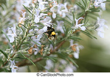 bumble bee and rosemary