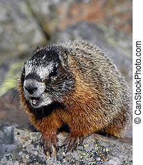 Barking Marmot - A marmot barking at the other marmots from...