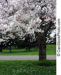 Magnolia Tree in Spring - Blossoming magnolia tree in spring