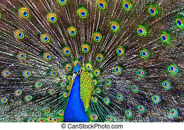 藍色, 孔雀