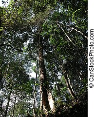 Forest canopy - In the forest canopy of Borneos rainforests,...
