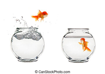 Jumping Goldfish - Goldfish Jumping From One Bowl to Another