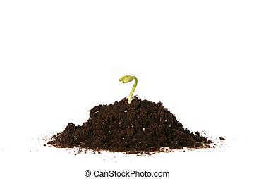 plantado, semente, Brotar