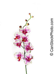 Single Stem of Orchid Flower - Branch of white and red...
