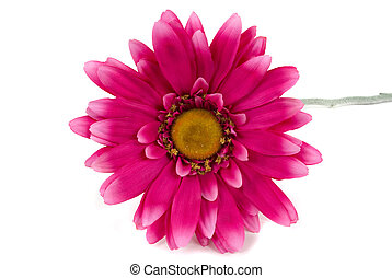 Pink Daisy - Pink daisy on white background