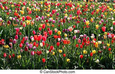 Multi Colored Tulips - A Field Multi colored tulips in...