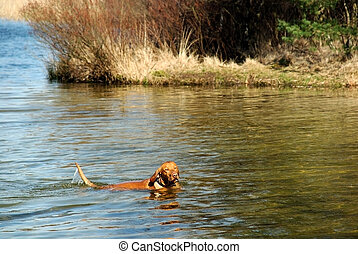 Swimming dog - Playful dog swimming in a forrest lake, sunny...