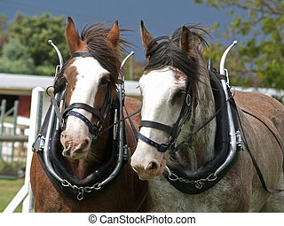 Drafthorses - Two Clydsedales harnessed for the sled pulling...