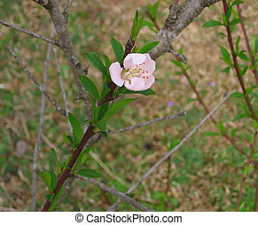 Peach Bloom Re Visit - This peach bloom is one of our first...