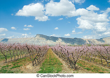 Peach blossoms - Peach orchard in spring