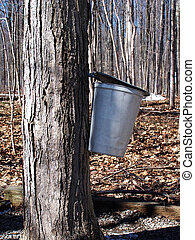 Maple sap bucket hanging on tree in sugar bush
