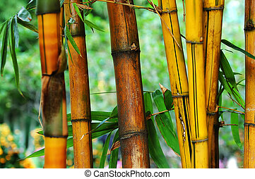 Bamboo - The yellow and the brown bamboo tree