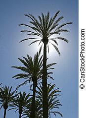 Sunlit Palm Tree - A deep silhouette of a tall palm tree...