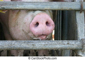 Muzzle - Pig in a stable at a german farm