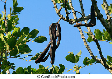 Carob tree in Israel - the middle east