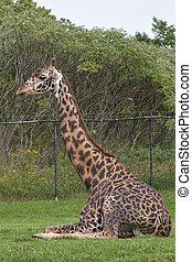 Masai giraffe - Giraffe in a zoo