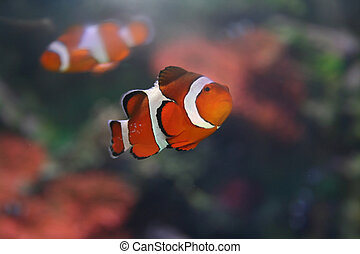 "Klown - fish, Amphiprion,""Nemo"" - Klown - fish,..."