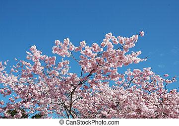Florecer, Cereza, árboles, azul, cielo