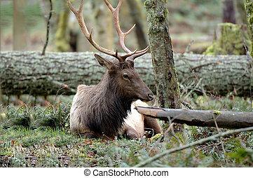 Roosevelt Elk resting on the ground